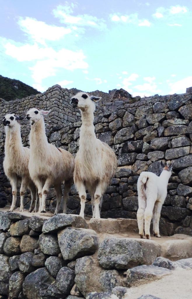 llama3